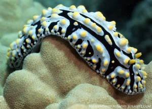 Phyllidia small watermarked